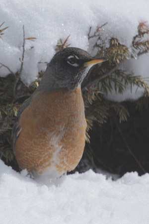 robin with snow 01