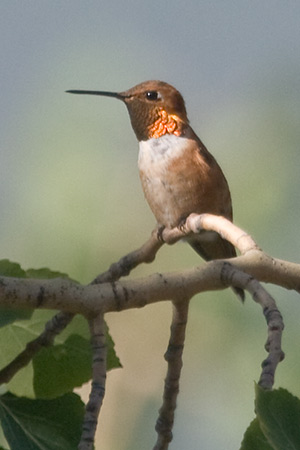 male rufous perches on an aspen branch watching for feeding competition