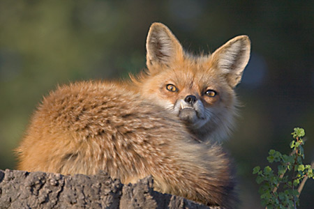 red fox resting on a stump in the glow of the setting sun