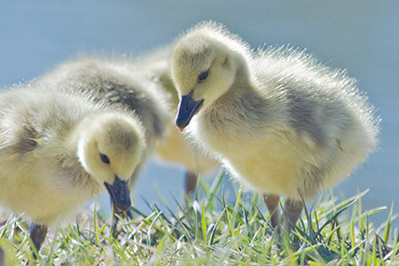 goslings nibbling grass by the lake