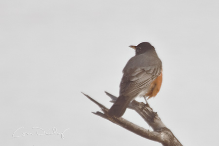 robin at icy pond
