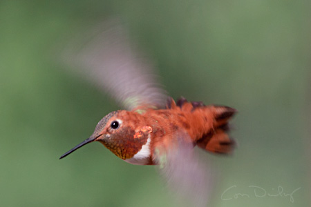 rufous in flight