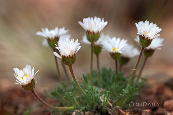 little daisies May 22, 2011 by Con Daily