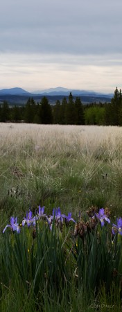 Wild Irises in South Park meadow with Pikes Peak on distant horizon.