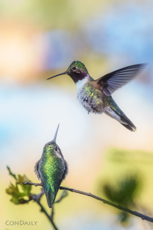 fighting hummingbirds photograph by Con Daily